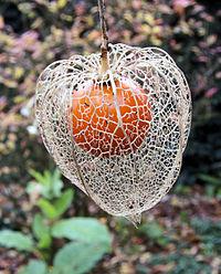 200px-Physalis_alkekengi_(Echte_lampionplant)